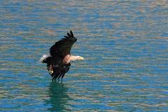 Lofoten`s eagle diagonally flying on surface stock image
