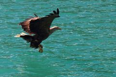 Lofoten`s eagle almost sitting on a cod in turquoise waters royalty free stock images