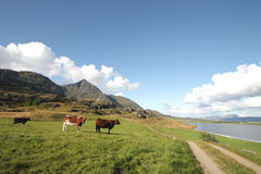 Lofoten's Fjord with cows Stock Photos