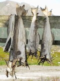 Lofoten stockfish drying Royalty Free Stock Image