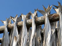 Lofoten stockfish drying Royalty Free Stock Images