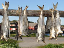 Lofoten stockfish drying Royalty Free Stock Photo