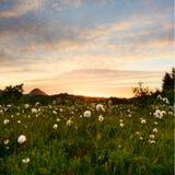 Lofoten-Wollgras im Sonnenuntergang lizenzfreies stockfoto