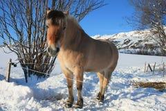 Lofotens Pferd Stockbild
