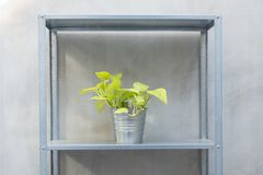Pothos in zinc bucket but on zinc shelf. Loft style zinc pot and shelf planting with vine or pothos plant.  idea for little garden with small space house Royalty Free Stock Photography
