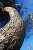 Lofty curved pine-tree against blue sky Royalty Free Stock Photography