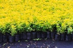 Lofty fig plant Royalty Free Stock Photos
