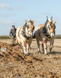 Lofty and Thor Norwegian Fjords horses ploughing. At english ploughing match Stock Images