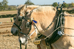 Lofty and Thor Norwegian Fjords horses ploughing. At english ploughing match Royalty Free Stock Photos