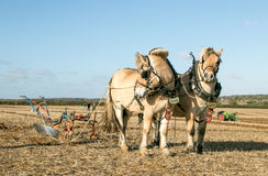 Lofty and Thor Norwegian Fjords horses ploughing Stock Image