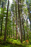 Lofty tree in forest Royalty Free Stock Photography