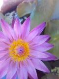 The lofus. Purple beautiful nature yellow Royalty Free Stock Image