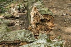 A log of big old beech closeup Stock Image