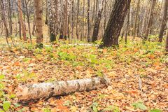 A log from a birch on the ground in the fall, a fabulous view royalty free stock photo