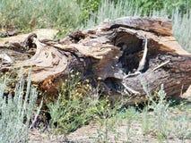 Log caído Fotografia de Stock
