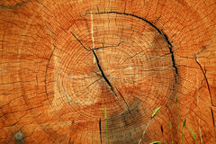 Log cross section Royalty Free Stock Photography