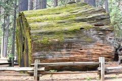 Log da sequoia foto de stock