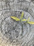 Log de madeira muito velho com as folhas verdes frescas imagem de stock