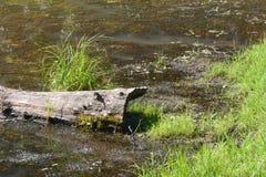 Log e grama Foto de Stock Royalty Free