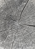Log end face covered with small cracks Stock Image