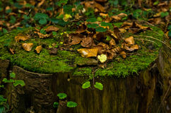 Log with moss and fallen leaves at autumn, mount Bobija Royalty Free Stock Photos