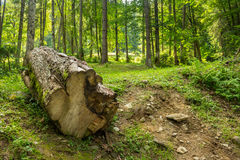 Log in an old forests Royalty Free Stock Image
