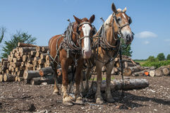 Log pulling team of horses Royalty Free Stock Photos