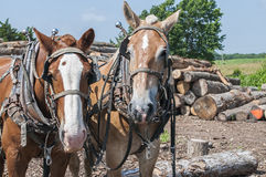 Log pulling team of horses Stock Photo