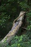 Log que inclina-se contra a árvore fotografia de stock