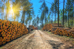 Log stacks along the forest road. At sunny day Stock Photos