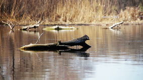 The Log Tree Lying in the River, Lake.  stock video footage