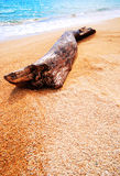 Log washed ashore Royalty Free Stock Image