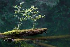 Log in water. Old mossy sunken broken log in lake water Stock Photography
