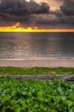 Log wood with beach morning glory on the beach and sunset Royalty Free Stock Photo
