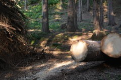 Felling trees in forest Royalty Free Stock Photo