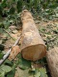 Log of wood. Log wood tectona grandis jungle stock images