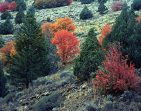 Logan Canyon Hillside. Fall colors in Logan Canyon, Utah stock photography