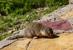 Logan Pass Squirrel Arkivfoton