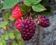 Loganberries ωρίμανση Στοκ Εικόνες
