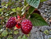 loganberries Στοκ Εικόνες
