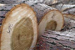Logarithmes naturels d'arbre photos stock