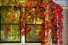 Logez la fenêtre envahie avec des raisins sauvages avec l'automne rouge Photos stock