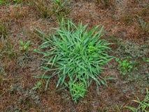 Logez la pelouse au-dessus de la course par le crabgrass et les mauvaises herbes Photographie stock