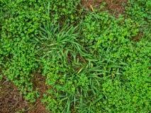Logez la pelouse au-dessus de la course par le crabgrass et les mauvaises herbes Images stock