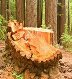 loggad redwoodträdkvarleva Royaltyfri Fotografi