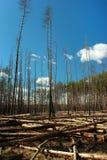Loggat område i en pinjeskog Fotografering för Bildbyråer