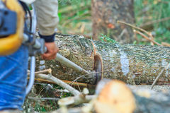 Logger man is cutting wood Royalty Free Stock Images