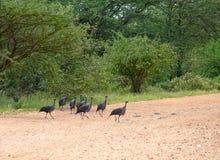 Loggerhead guinea fowl. Samburu. (Acryllium vulturinum). Royalty Free Stock Images
