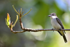 Loggerhead Kingbird (Tyrannus caudifasciatus) Royalty Free Stock Photo