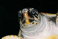 Loggerhead schildpad Royalty-vrije Stock Afbeelding